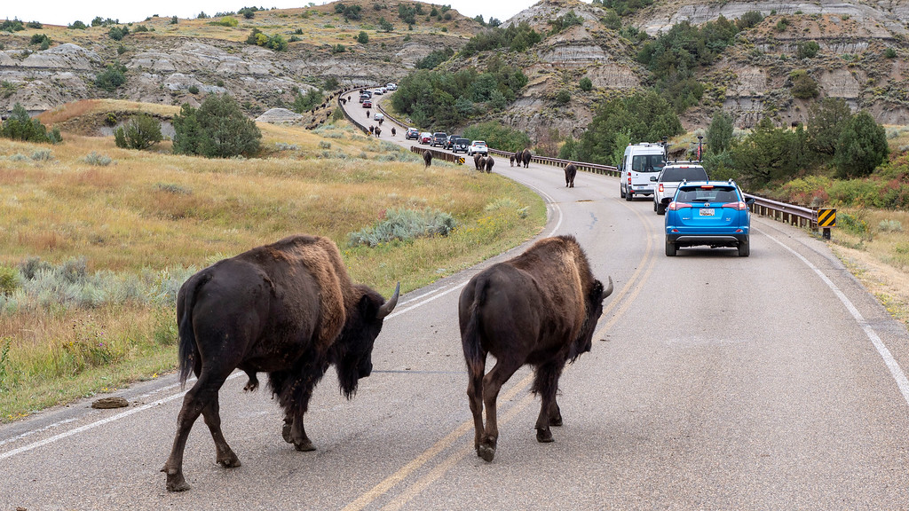 Bison / buffalo at Theodore Roosevelt National Park - bison road block - North Dakota road trip