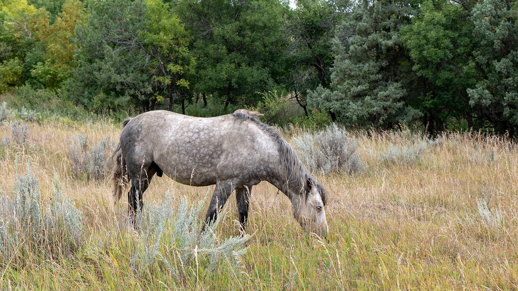 Wild horses at Theodore Roosevelt National Park - North Dakota road trip