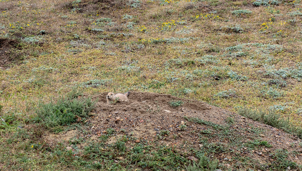 Prairie dog at Theodore Roosevelt National Park - North Dakota road trip
