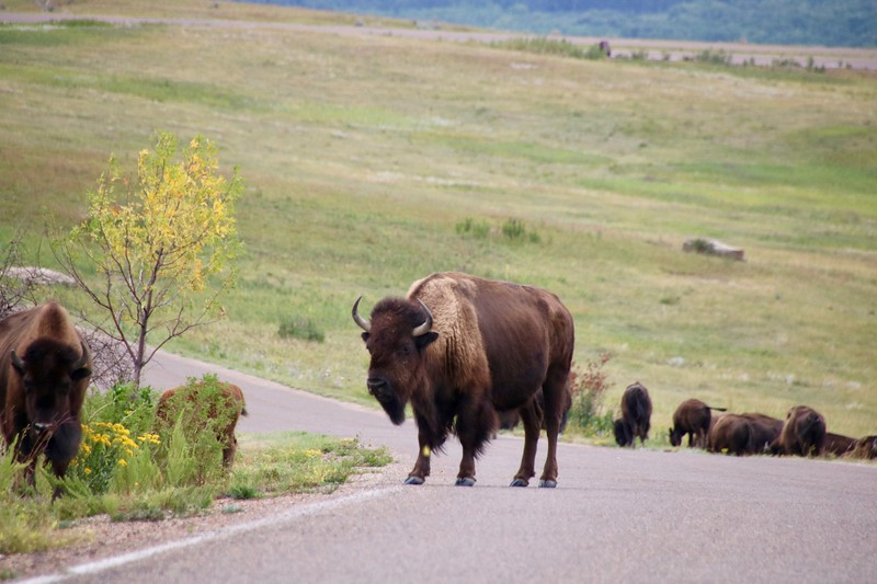 Bison - Theodore Roosevelt National Park - North Unit