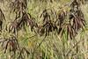 Dried-mimosa-seeds,-Oahu