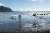 Chinaman's-Hat (Mokoli'i Is )-and-baby-mangroves,-Kaneohe-Bay,-Oahu