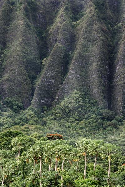 Eroded-hills-papaya-trees-and-bougainvilla,-behind-Waimanalo,-Oahu