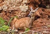 Deer_IMG_0974