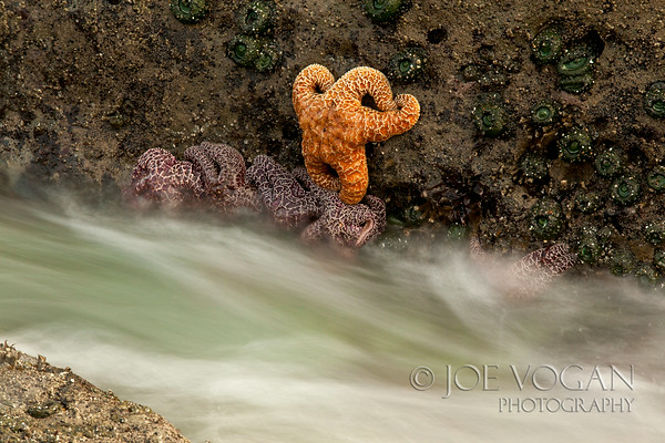 Ochre Seastars, Beach 4, Olympic National Park, Kalaloch, Washington