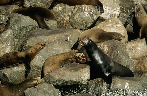 California Sea Lion, Newport Harbor, Oregon