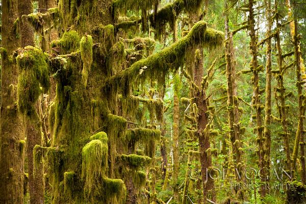 Quinalt Rainforest, Olympic National Park, Washington
