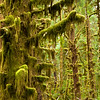Quinalt Rainforest, Olympic National Park, Washington