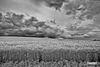 Wheat_MG_7036