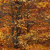 Pennsylvania Beech Tree