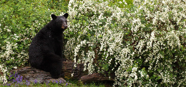 Black Bear Sitting at the Stone Table
