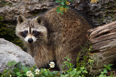 Sigma 150-600mm f/5-6.3 DG OS Contemporary Lens and the Raccoon