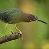 Capturing a Little Green Heron