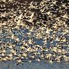 Flock of Flying Snow Geese