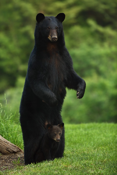 """The Definition of """"Safe"""" – Mother Black Bear and Cub"""