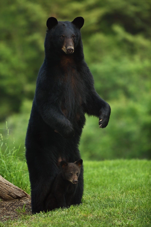 "The Definition of ""Safe"" – Mother Black Bear and Cub"