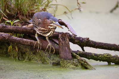 Canon RF 800mm F11 IS STM Lens Catches Little Green Heron in Hunting Pose