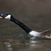 Canada Goose Sticking its Tongue Out