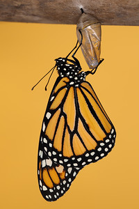 Monarch Butterfly and Chrysalis