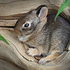 Baby Cottontail Rabbit in a Log