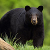 Black Bear in Clearing