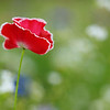 Isolated Red and White Poppy