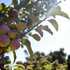 Apple Lane Orchards