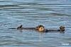 Otters_D713566