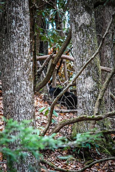 cades cove black bear
