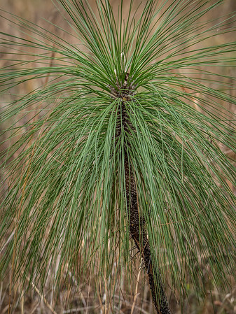 Long Needle Pine