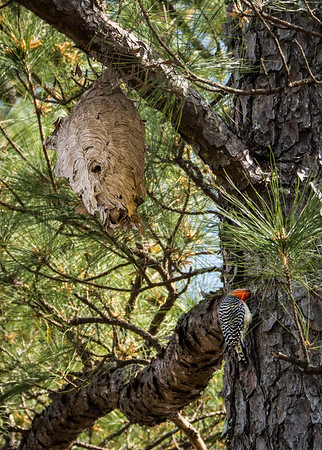 Hornet's nest & Yellow-bellied Woodpecker