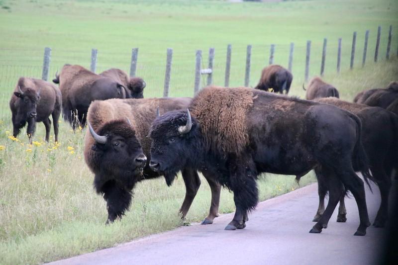 Bison - Custer Eyalet Parkı