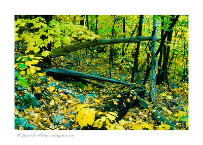 Fallen tree and autumnm leaves, Seneca Rocks National Recreation Area, WV