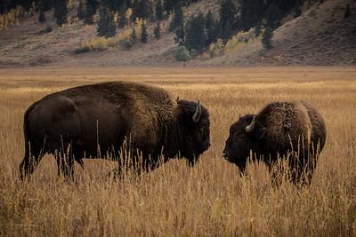 Buffalo couple, #2