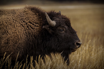 Buffalo closeup, #3