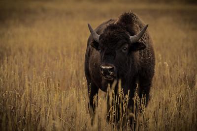 Buffalo closeup, #1