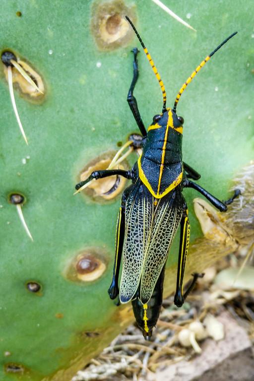 Desert Lubber Grasshopper