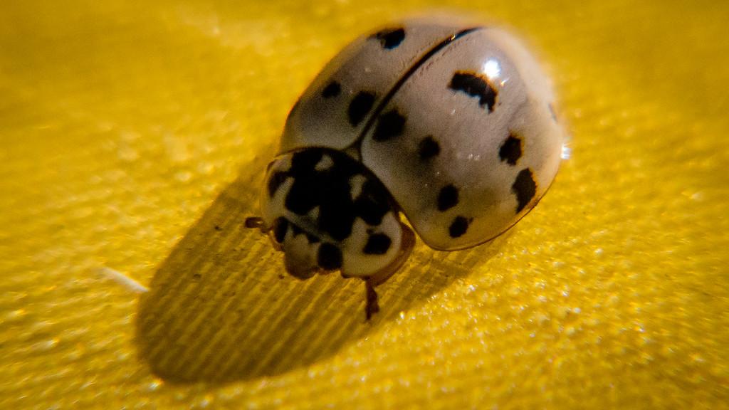 White Ladybug Palo Duro
