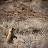Prairie dogs  (Cynomys parvidens)