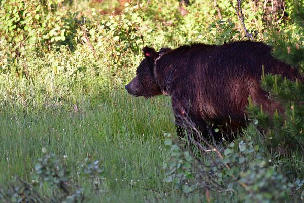 Premier ours, un Grizzly sur le bord de la route, pour nous tout seuls