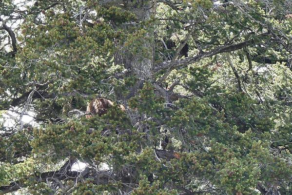 Un gros ours marron dort dans l'arbre