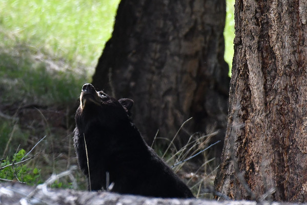 L'ours marron dormait au dessus de cet ours noir