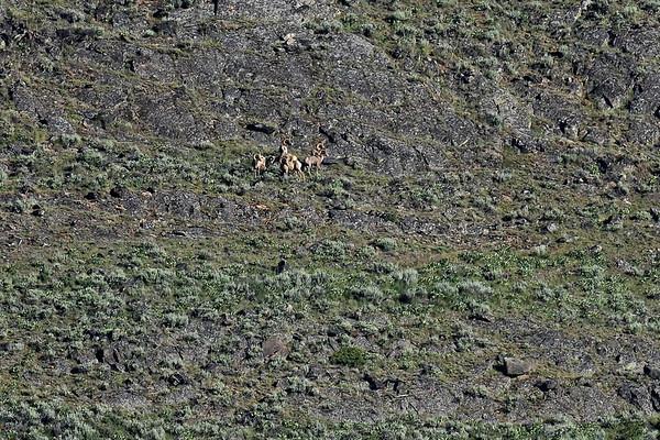 Big Horn Sheeps (que des mâles) près des loups