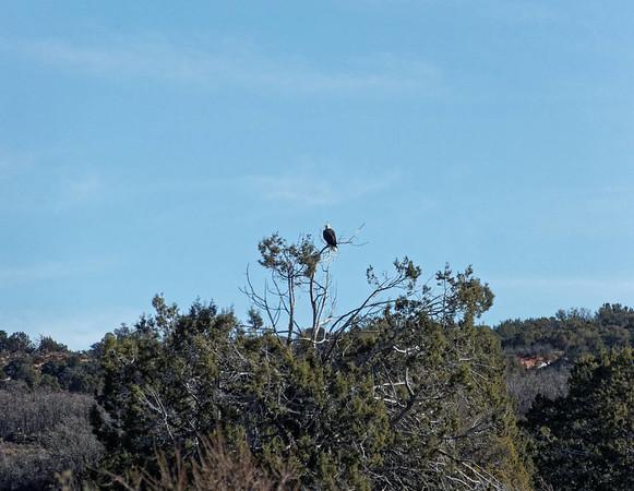 Un Bald Eagle dans Coral Pink Sand Dunes SP