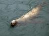 Harbor seal, Monterey, California, 29 September 2006.