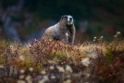 Marmot in Paradise