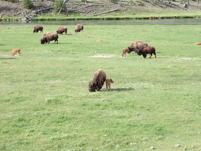 Sur la route vers Madison, nos traditionnels bisons...On en verra des centaines!!