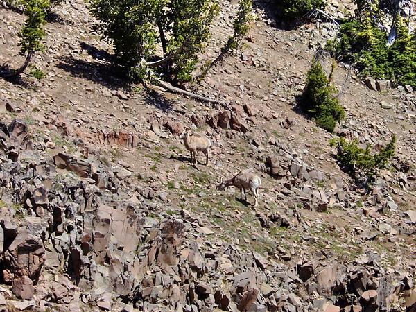 Nous croisons un troupeau de bighorns, magnifique spectacle