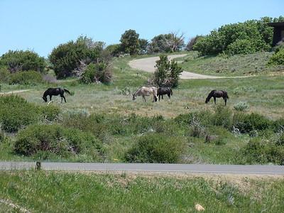En sortant du visitor center, nous rencontrons des chevaux sauvages ( presque)