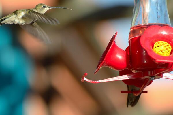 Le battement de leurs ailes qui atteint 80 battements d'ailes par seconde pour un déplacement régulier d'avant en arrière, peut atteindre 200 battements par seconde pour un vol en plongée ce qui fait de lui l'oiseau aux battements d'ailes le plus rapide.
